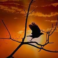 Crow929